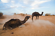 Two camels on a three-day trek to the remote sand dunes of Erg Zehar, near M'hamid in the Moroccan Sahara.