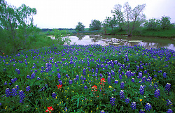 Field of bluebonnets in front of a stream