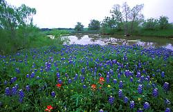 Field of bluebonnets in front of a stream