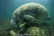 juvenile crevalle jack, Caranx hippos, shelters under Florida manatee, Trichechus manatus latirostris, a subspecies of the West Indian manatee, Crystal River, Florida, USA, North America