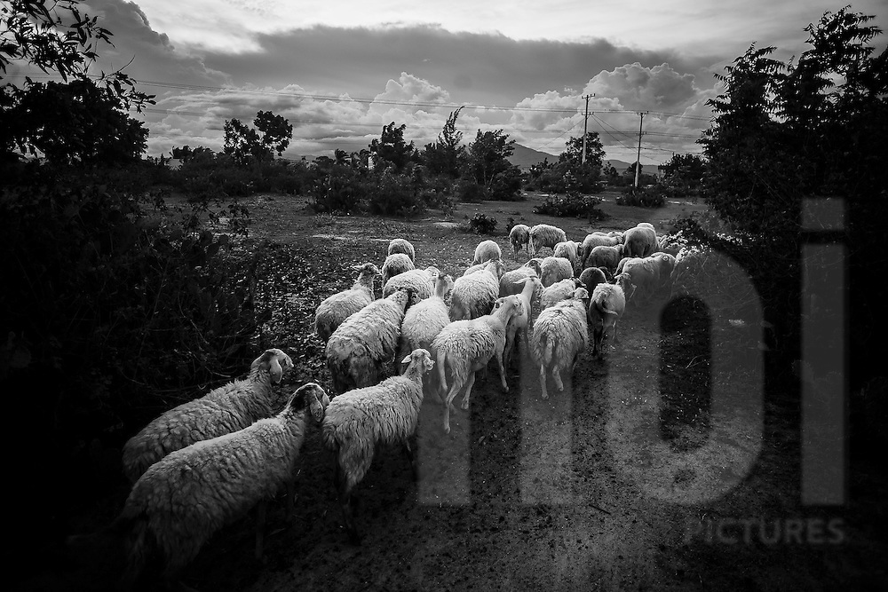 Flock of sheep being herded onto farm lands, Ninh Thuan Province, Vietnam, Southeast Asia
