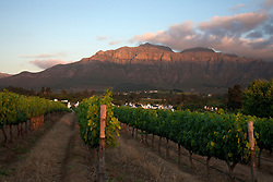 Vines in a vineyard, Stellenbosch, Western Cape Province, South Africa