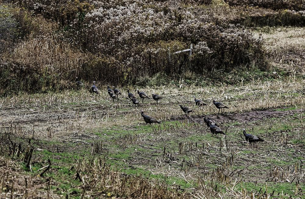 Wild turkey hens, New York, USA