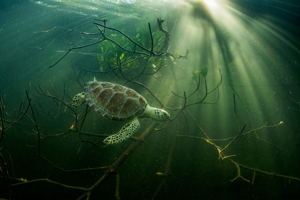 A green sea turtle (Chelonia mydas) hides among mangrove trees in The Bahamas.