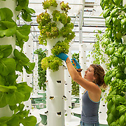 Alexa Smith harvests Lolla Rossa from a growing tower at Altius urban garden north of downtown Denver, Colorado. Altius was stared in October 2018 as a way to bring farming back into the city. Nathan Lambrecht/Journal Communications