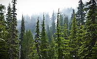 Trees and fog, Seattle Park, Mount Rainier National Park, Washington, USA.