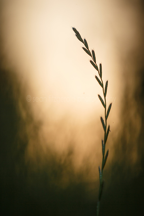 Abstract of grass silhouette agaist setting sun near McCommas Bluff, Great Trinity Forest, Dallas, Texas, USA