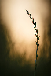 Abstract of grass silhouette agaist setting sun near McCommas Bluff, Great Trinity Forest, Dallas, Texas, USA