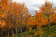 Autumn shows up as peach hues in the aspen trees on a hill in the Northern Black Hills.