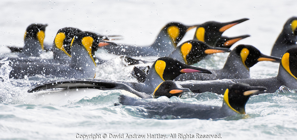 King Penguins (Aptenodytes patagonicus) swim repeatedly by the shoreline, bathing themselves before coming ashore, Fortuna Bay, South Georgia Island, South Atlantic Ocean