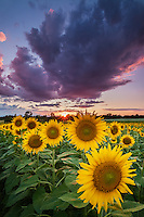 Sunset over a sunflower field in the Champlain Valley near Ferrisburg, VT