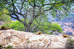 Lions relaxing in the shade perched on a rock high above their bushveld hunting area below in Kruger National Park.