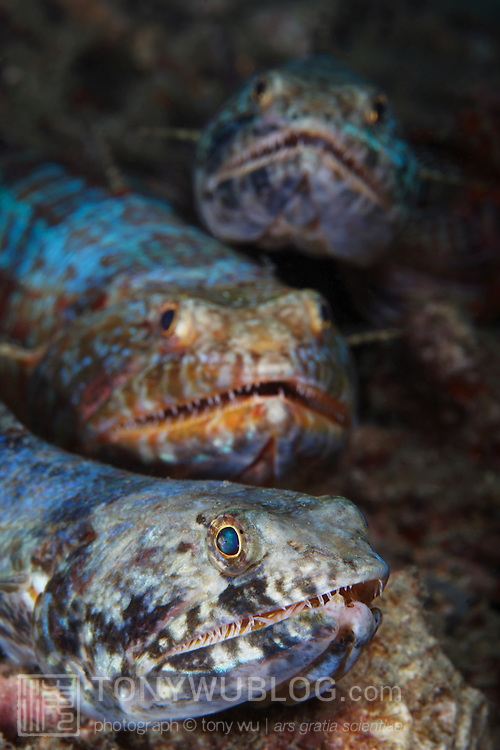 A trio of extremely large, fat lizardfish sitting under the large wharf at Samarai island in Milne Bay