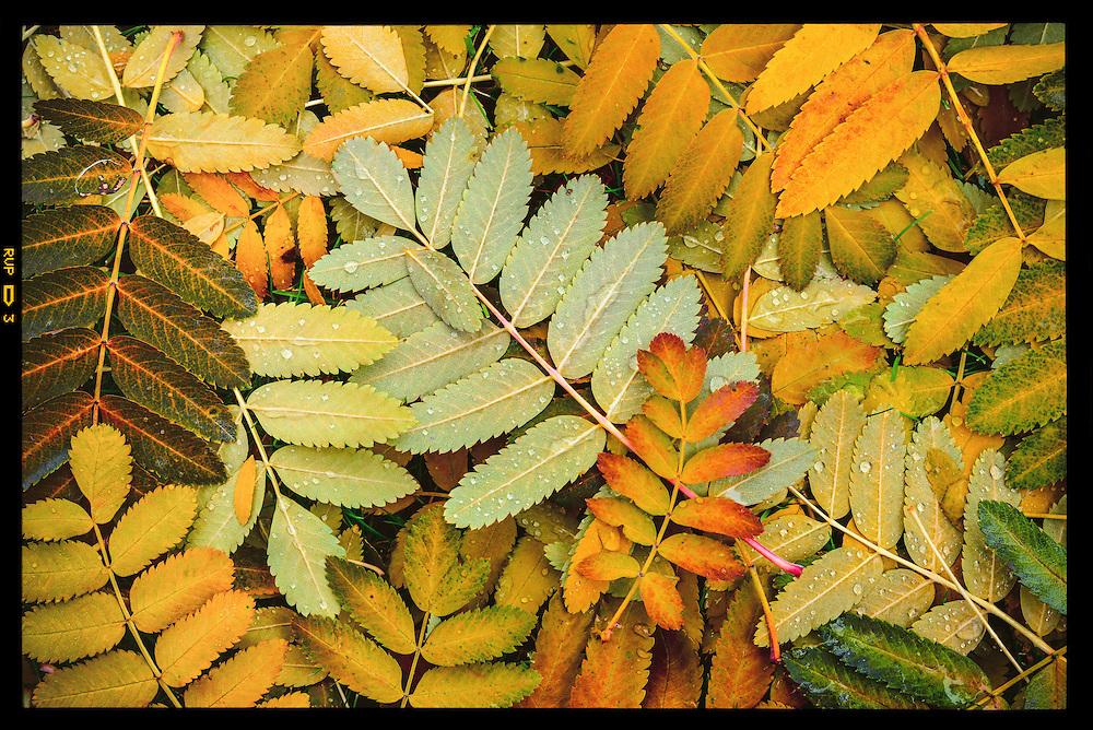 Medium format photo of Mountain Ash leaves