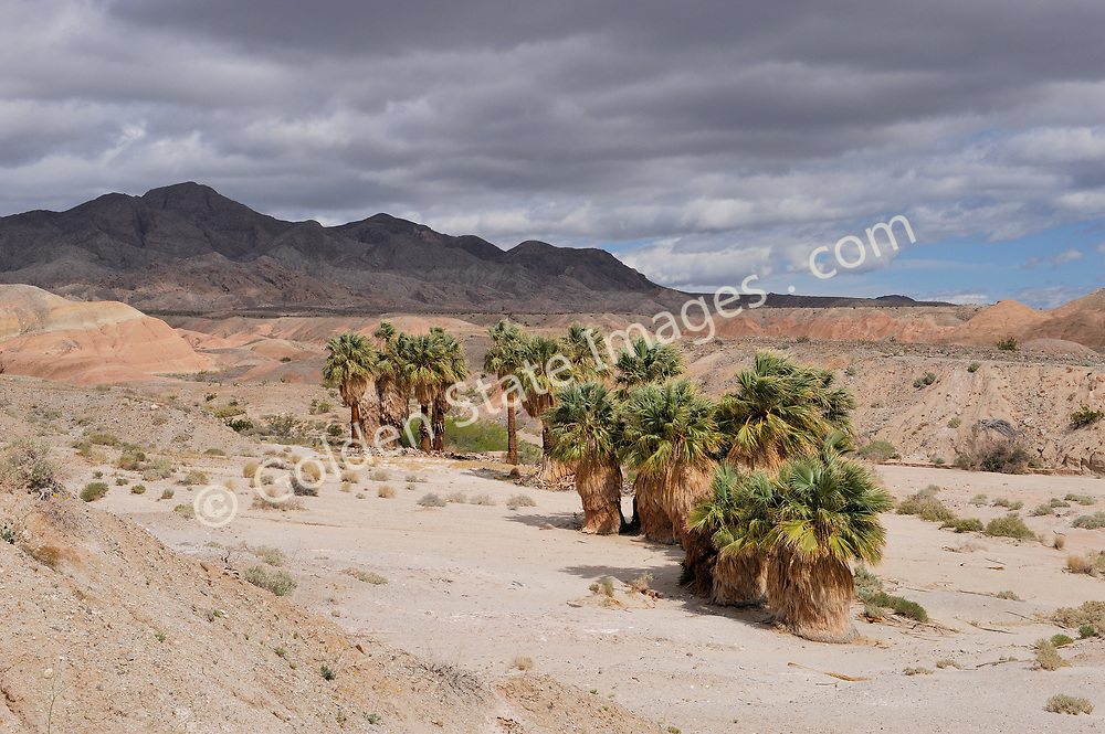 The Seventeen Palm Oasis was used decades ago by prospectors and early travelers as they past through this desolate area.    <br /> <br /> Anza Borrego Desert is California's largest state park where temperatures can be in the triple digits year-round. The park covers 600,000 acres of desert, including badlands, palm canyons, rock formations, slot canyons, wildflower displays and cactus. <br /> <br /> Geologists and paleontologists believe this parched desert was once underwater, and home to fish, sea turtles, and sharks.  Remnants of its former life can be found, including seashell fossils and wild rock formations.