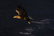 A white-tailed eagle, Haliaeetus albicilla, in flight.