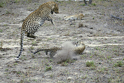 July 7, 2015 - Leopards, Sabi Sand Game Reserve, South Africa  (Credit Image: © Tuns/DPA/ZUMA Wire)