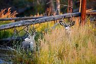 Pareja de machos de ciervo de cola negra, Yellowstone NP, Wyoming (Estados Unidos)