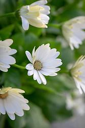 Osteospermum 'Akila White' Akila Series - African daisy