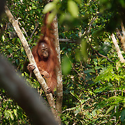 Orangutan (Pongo pygmaeus) in Tanjung Puting National Park. Central Kalimantan region, Borneo.