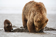 Brown or Grizzly Bear sow with cubs, Lake Clark National Park, Alaska.