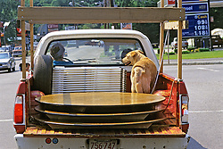 Yellow Lab In Back Of Truck