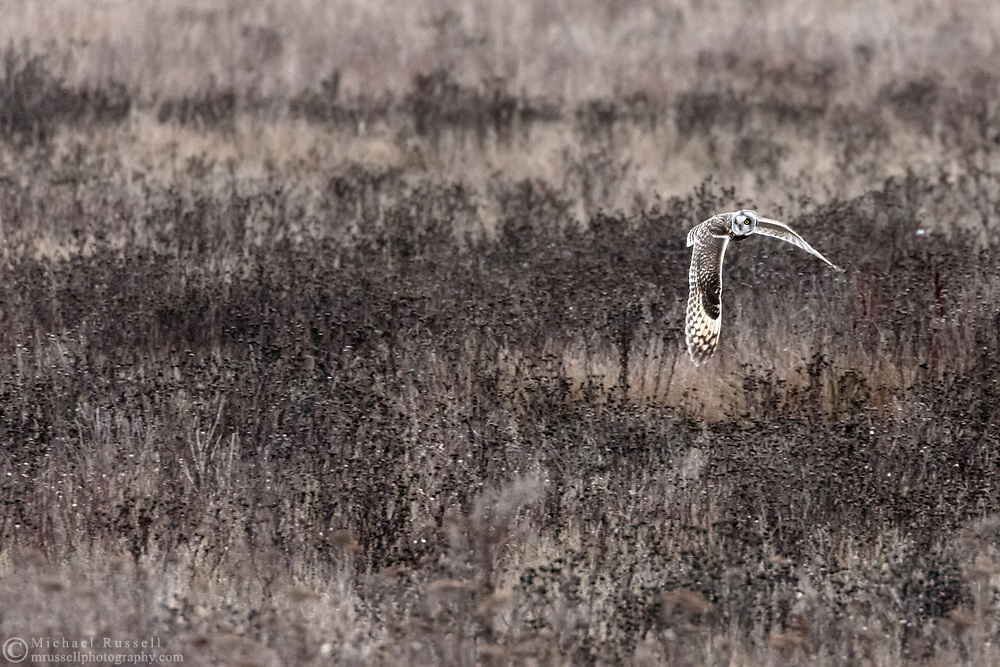 Short-eared Owl (Asio flammeus) flying over the grasses along the shore at Boundary Bay Regional Park.  The brown colored owls blend in well with the brown grass and plants along the shoreline.  Photographed at Boundary Bay in Delta, British Columbia, Canada.