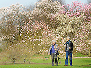 © Licensed to London News Pictures. 22/03/2012. Kew, UK. People walk amongst the Magnolia trees in bloom. People enjoy the spring sunshine in The Royal Botanic Gardens at Kew today, 22 March 2012. Temperatures are set to reach 18 degrees celsius in some parts of the UK today. Photo credit : Stephen SImpson/LNP