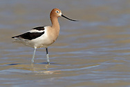 American Avocet - Recurvirostra americana - Adult female breeding