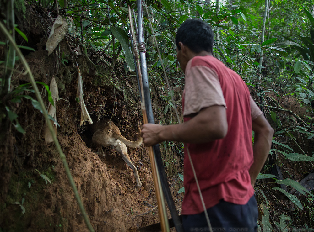 Julio levo, 31, hunting for wild animals (Coati, collared peccary, monkeys, fish etc) in the jungle, with his dog and his bow and arrows.