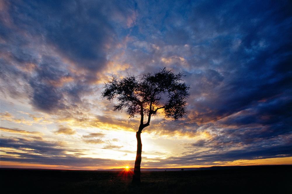 A lone Acacia tree on the plains of the Masai Mara, Kenya at sunset.