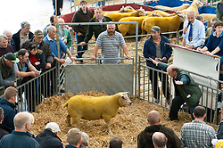 © Licensed to London News Pictures. 23/09/2019. Llanelwedd, Powys, Wales, UK. Charollais rams go under the hammer. The auction of rams gets going at 10.00am. The NSA (National Sheep Association) Wales & Border Ram Sale takes place at the Royal Welsh Showground in Powys, Wales, UK. Two NSA Wales & Border Ram Sales are held each year: An early one in August and the main one in September. Around 4,500 rams from about 30 breeds will be on sale. Photo credit: Graham M. Lawrence/LNP
