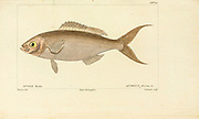 Apsilus from Histoire naturelle des poissons (Natural History of Fish) is a 22-volume treatment of ichthyology published in 1828-1849 by the French savant Georges Cuvier (1769-1832) and his student and successor Achille Valenciennes (1794-1865).