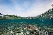 green sea turtle or honu, Chelonia mydas, Kahalu'u Beach Park, Keauhou, Kona, Hawaii, USA ( Central Pacific Ocean )