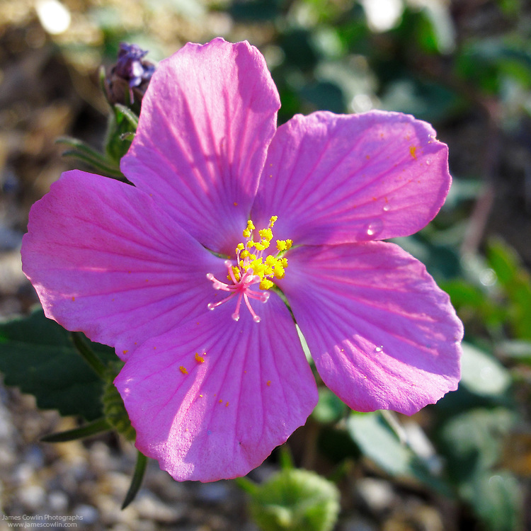The pink flowers of the Rock Rose, Pavonia lasiopetala, bloom in the Sonoran Desert of southern Arizona.