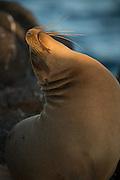 A Galapagos sea lion basks in the evening sun on North Seymore Island, Galapagos, Ecuador, South America