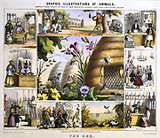 Wild and Honey Bees: Honey; Wax; Light; Wax-works. Hand-coloured lithograph published London c1850. From 'Graphic Illustrations of Animals and Their Utility to Man'