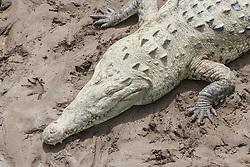 Crocodile on river bank, from bridge over Tarcoles River, Costa Rica