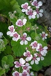 Erodium trifolium syn. Erodium pelargoniflorum