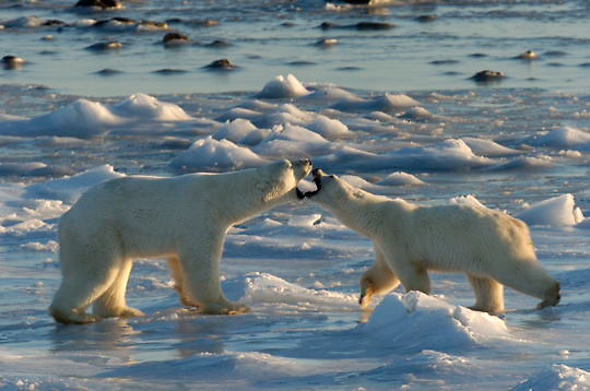 "Polar Bear (Ursus maritimus) Two sub adults play fighting, """"mouthing"""". Churchill, Manitoba. Canada. Winter."