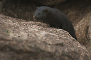 American mink Neovision vision at it's lookout between rocks