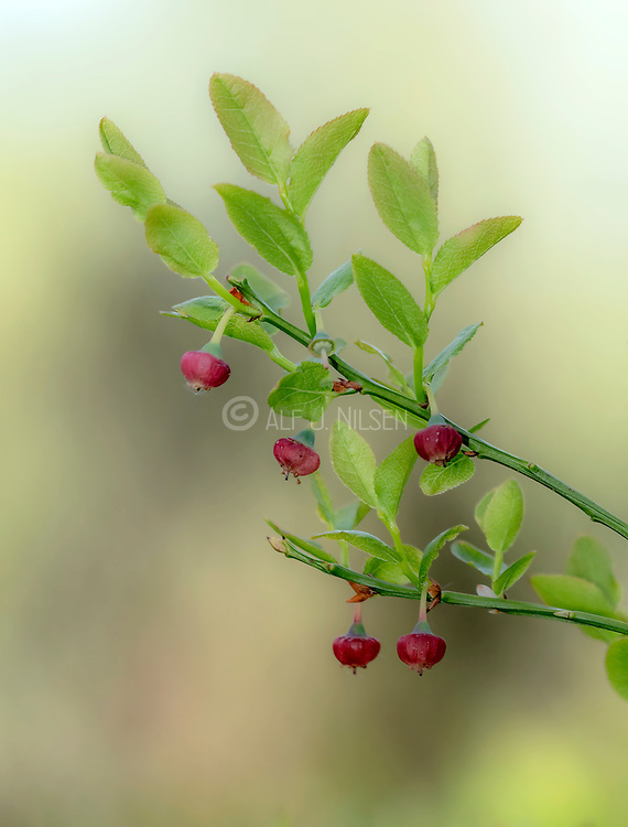 European blueberry (Vaccinium myrtillus) flowering in May. Photo from Hidra, south-western Norway.