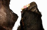 Deutschland, DEU, Krefeld, 2004: Projekt ueber die biologischen Wurzeln der Mode. Die Shootings hierfuer wurden mit Grossen Menschenaffen, die dem Menschen am naechsten sind, im Krefelder Zoo gemacht. Die Tiere waren weder zahm noch trainiert. Die Kleidungsstuecke wurden in die Gehege geworfen und was immer die Tiere damit anstellten, taten sie aus sich selbst heraus. Ein Eingreifen oder gar eine Regie war unmoeglich. Da das Verhalten der Affen im Mittelpunkt stand, wurden die Hintergruende von den Originalfotografien entfernt. Gorilla-Weibchen Muna mit einer hoelzernenen Perlenhalskette, gesehen bei Indigo. | Germany, DEU, Krefeld, 2004: Project to look at the basics and roots of fashion. The shootings took place in the Zoo Krefeld with three species of Great Apes who are the nearest to us. The animals were neither tamed nor trained. Whatever the animals did, they did on their own. Any intervention or directing was impossible. To set the focus on the behaviour of the animals itself we removed the background from the original photographs. Gorilla (Gorilla gorilla) female Muna with a wooden pearl necklace, seen at Indigo in Munich. |