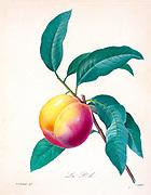 19th-century hand painted Engraving illustration of a peach on a branch, by Pierre-Joseph Redoute. Published in Choix Des Plus Belles Fleurs, Paris (1827). by Redouté, Pierre Joseph, 1759-1840.; Chapuis, Jean Baptiste.; Ernest Panckoucke.; Langois, Dr.; Bessin, R.; Victor, fl. ca. 1820-1850.