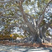 Gigantic Fig Tree<br /> Santa Barbara, CA.