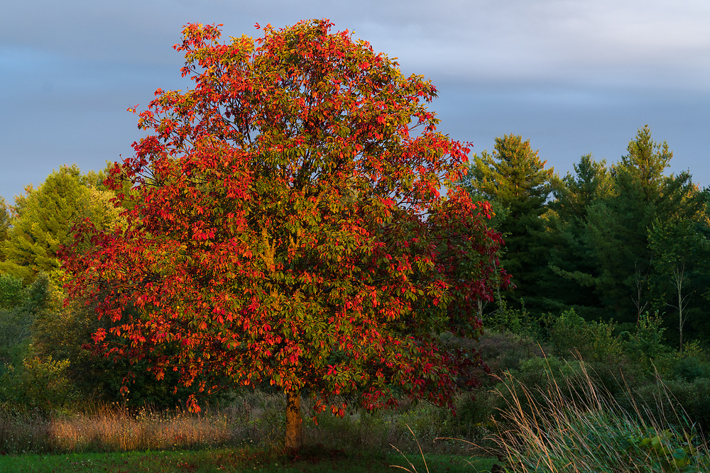 https://Duncan.co/tree-with-red-and-green-leaves-at-dusk