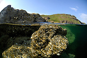 Scottish coastline with Barnacle (Balanus balanoides) (dt. Seepocke)