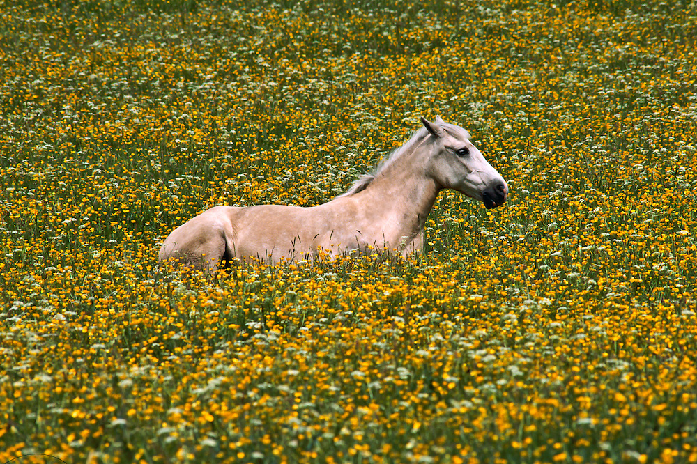 A horse among the fields of flowers in Northern England.