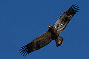 A juvenile bald eagle (Haliaeetus leucocephalus) practices soaring over Lake Washington in Kirkland, Washington. At the time of this image, the eagle had been flying for only about a week and a half.