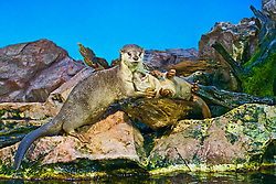 Smooth-coated otters, smooth otters or Indian smooth-coated otters, Lutrogale perspicillata, threatened species, captive